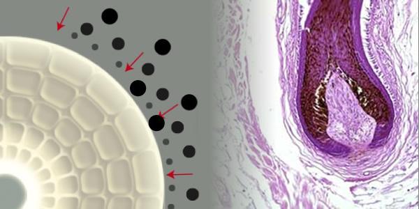 「3種の機能性ペプチドによるメラノサイト(色素細胞)への作用を研究」メラノサイトの機能性