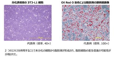脂肪細胞の産生を促進させる効果を発見
